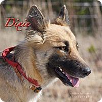 Adopt A Pet :: Dixie - Dripping Springs, TX