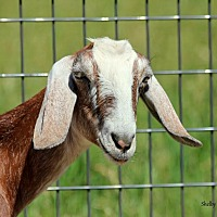 Goat for adoption in Mead, Washington - Vie