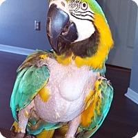 Adopt A Pet :: Bandit - Tampa, FL