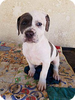 Pit Bull Terrier Puppy for adoption in HESPERIA, California - Mercedes