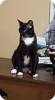 Domestic Shorthair Cat for adoption in Virginia Beach, Virginia - Poe