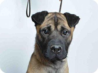Shar Pei/German Shepherd Dog Mix Dog for adoption in Ukiah, California - FINCH