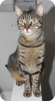 Domestic Shorthair Cat for adoption in Harrison, New York - Syd