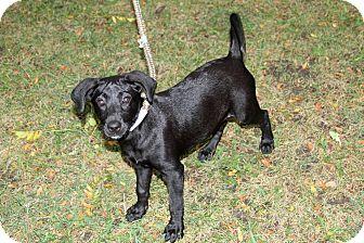 Labrador Retriever Mix Puppy for adoption in Joliet, Illinois - Kourtney