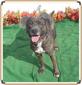 Labrador Retriever Mix Dog for adoption in Marietta, Georgia - RUSTY (R)