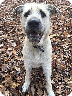 Irish Wolfhound Dog for adoption in Walden, New York - Bruiser