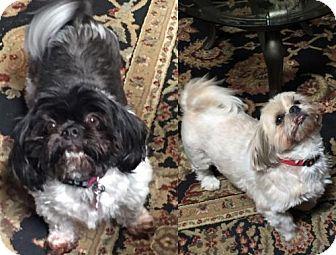 Shih Tzu Dog for adoption in San Antonio, Texas - Chloe and Caesar