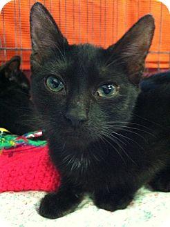 Domestic Shorthair Kitten for adoption in Seminole, Florida - Peanut