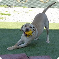 Adopt A Pet :: Wade - Falls Church, VA