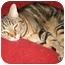 Photo 2 - Domestic Shorthair Cat for adoption in Cincinnati, Ohio - Gypsy