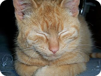 Domestic Shorthair Kitten for adoption in Fairborn, Ohio - Geoffrey The Red