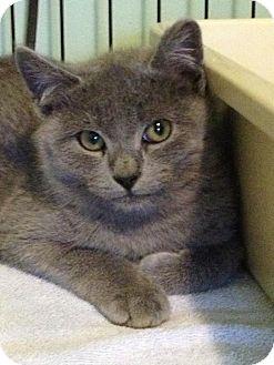 Russian Blue Kitten for adoption in Monroe, Georgia - Bimmer