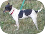 Rat Terrier Dog for adoption in Carmel, Indiana - Jasper Harlan