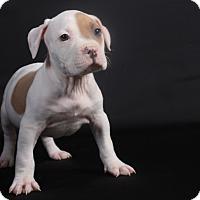 Adopt A Pet :: Chance - Henderson, NV
