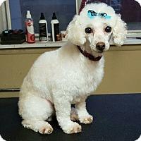 Poodle (Miniature) Mix Dog for adoption in DAYTON, Ohio - Marlowe