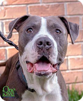 American Bulldog Dog for adoption in Savannah, Georgia - Rocko