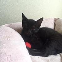 Domestic Shorthair Kitten for adoption in Bulverde, Texas - Pookie 2