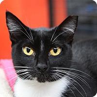 Domestic Shorthair Cat for adoption in Sarasota, Florida - Quarry