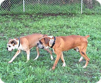 Boxer Dog for adoption in Austin, Texas - Gibbs