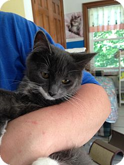 Domestic Mediumhair Kitten for adoption in Middletown, New York - Buttons