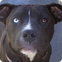 Adopt A Pet :: DOLLY - Red Bluff, CA