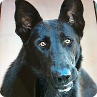 German Shepherd Dog Puppy for adoption in Los Angeles, California - PRINCESS VON PRUM