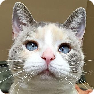 Siamese Cat for adoption in Oakland, California - Nancy