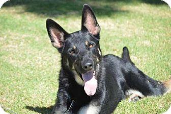 German Shepherd Dog Dog for adoption in Irvine, California - Tank