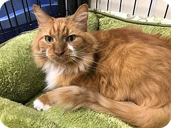 Domestic Longhair Cat for adoption in Maryville, Missouri - Duddits