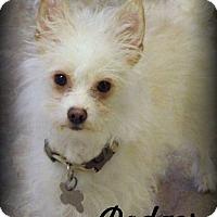 Adopt A Pet :: Dodger - Anaheim Hills, CA