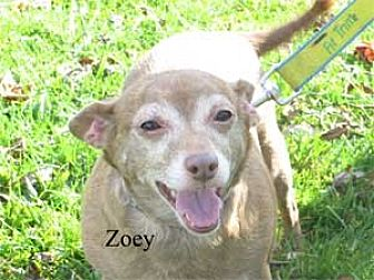 Chihuahua Mix Dog for adoption in Warren, Pennsylvania - Zoey