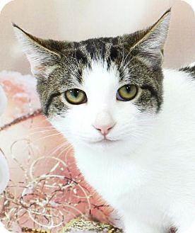 Domestic Shorthair Cat for adoption in Harrisonburg, Virginia - Dinky