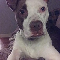 Pit Bull Terrier Mix Dog for adoption in Dayton, Ohio - Evie