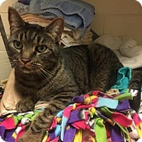 Domestic Shorthair Cat for adoption in Cumming, Georgia - Dodger