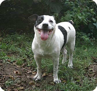 Jack Russell Terrier/Terrier (Unknown Type, Small) Mix Dog for adoption in Harrisonburg, Virginia - Smiley