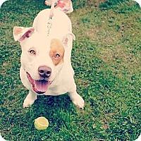 Adopt A Pet :: Bandit - Pittsbugh, PA