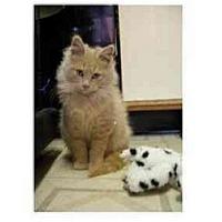 Adopt A Pet :: Charlie Brown1 - Jenkintown, PA