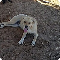 Labrador Retriever/Basset Hound Mix Dog for adoption in San Antonio, Texas - Captain
