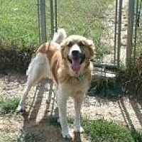 St. Bernard/Collie Mix Dog for adoption in Flintstone, Maryland - Misty