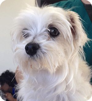 Las vegas nv maltese mix meet som a dog for adoption for Dog rescue las vegas nv