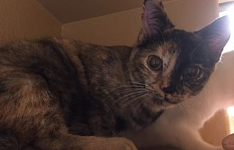 Domestic Shorthair Cat for adoption in Morganton, North Carolina - Princess