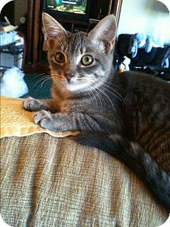 Domestic Shorthair Kitten for adoption in Madisonville, Louisiana - Casey