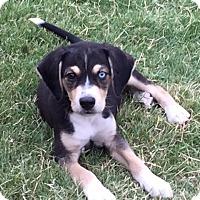 Adopt A Pet :: Bowie - Bedford, TX