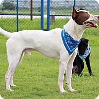 Adopt A Pet :: Browny - San Francisco, CA