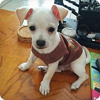 Adopt A Pet :: Scout - Davie, FL