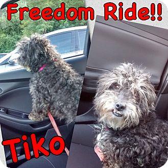 Miniature Schnauzer Mix Dog for adoption in Millersville, Maryland - Tiko