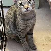 Domestic Shorthair Kitten for adoption in Adona, Arkansas - Sassy