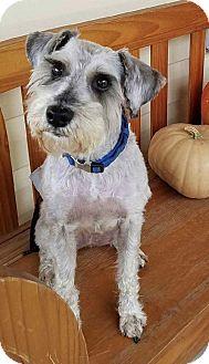 Miniature Schnauzer Dog for adoption in Rockville, Maryland - Dalton-ADOPTION PENDING!!