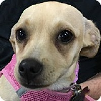 Adopt A Pet :: Ivory Iron - Houston, TX