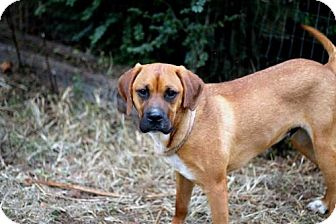 Boxer Mix Dog for adoption in Hagerstown, Maryland - DUKE GRAHAM